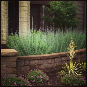 a retaining wall holding Russian sage